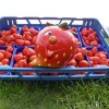 Aardbeien Hollandse  Klasse 1 per 500 gram