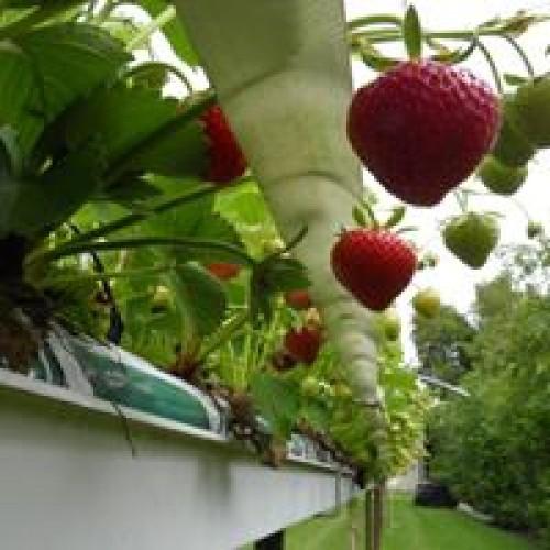 Aardbeien Hollandse  per 400 gram