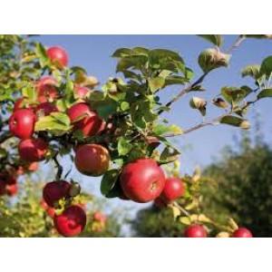 Delcorf nieuwe oogst Hollandse appels 1 kilo