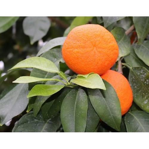 Sinaasappelen Navels per 1 kilo zo uit het handje