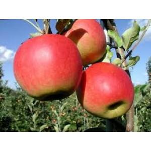 Santana (anti allergie) appelenper kilo